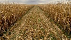 Bajó la producción de maíz en Guárico por escasa cantidad de fertilizantes