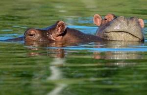EN VIDEO: Hipopótamos ayudaron a dos pájaros a pasar desapercibidos frente a un grupo de feroces cocodrilos