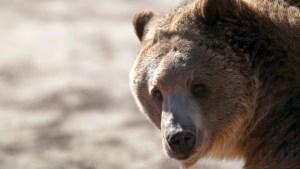 Recibió los ataques de un oso por una semana en Alaska y sobrevivió para contarlo