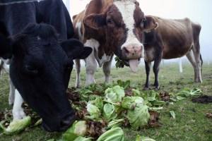 Abigeato en Venezuela: Al año desaparecen más de 700 mil cabezas de ganado