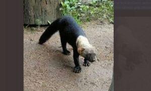 Alertan a vecinos de La Boyera para que no agredan a animal en peligro de extinción (FOTO)