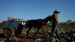 El problema de los campesinos cubanos: Comprar insumos en dólares, vender en pesos