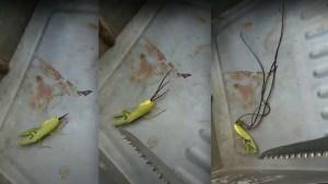 Graban unos misteriosos tentáculos saliendo del cuerpo de una mantis (VIDEO)