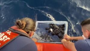 Liberan más de 200 tortugas marinas rehabilitadas en la costa de Florida