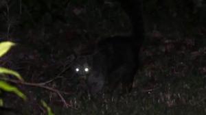 """Alarma en Chile por una enigmática criatura que mata animales al estilo del mítico """"chupacabras"""""""