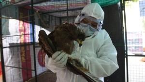 India confirmó la primera muerte por gripe aviar de la cepa H5N1