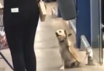 ¡Lo mejor que verás hoy! Furor en las redes por perro que saluda a cada persona que sale del supermercado (VIDEO)