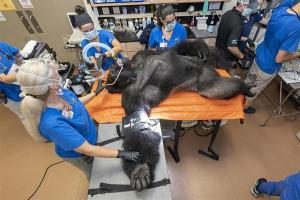 """Examen médico al gorila """"Barney"""" se convirtió en sensación en las redes"""